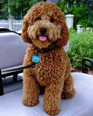 Adult Mini Goldendoodle Pictures