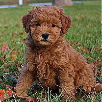 Miniature Goldendoodle Sandy Ridge